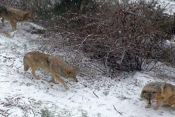 Sainte-Lucie (Lozère) - des loups dans le parc du Gévaudan - 9 mars 2016.