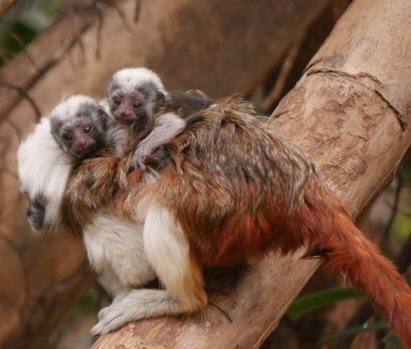 Le Tamarin est un petit singe sud-américain très facilement reconnaissable à la belle perruque blanche qui orne sa tête.