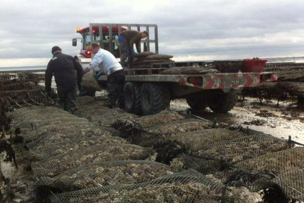 Les ostréiculteurs s'activent dans les parc à huîtres à Cancale