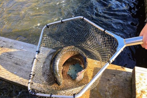 La qualité de l'eau est capitale pour le goût de la truite.