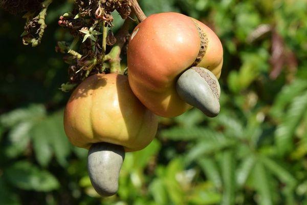 L'entreprise Jiriba distribue des noix de cajou bio