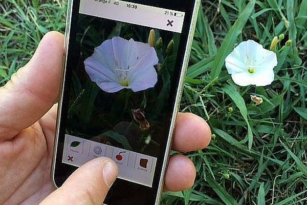 En envoyant la photo d'une fleur à pl@ntnet, l'utilisateur connaît son nom en quelques secondes (Ici un liseron).