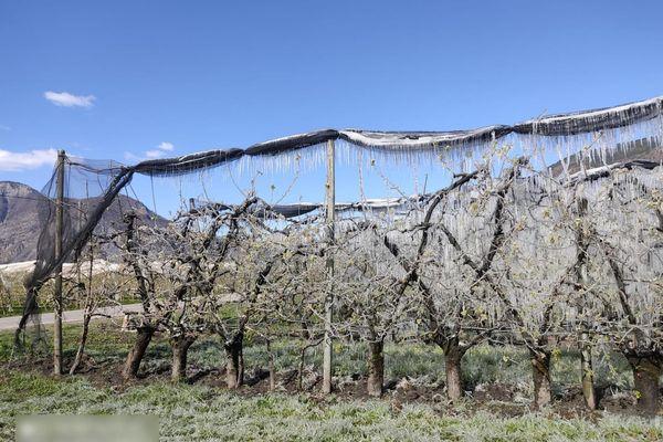 Pour tenter d'atténuer les conséquences du froid sur leurs cultures, certains arboriculteurs ont arrosé les arbres fruitiers