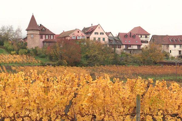 Les vignes alsaciennes ont revêtu leurs couleurs automnales, ici à Zellenberg.