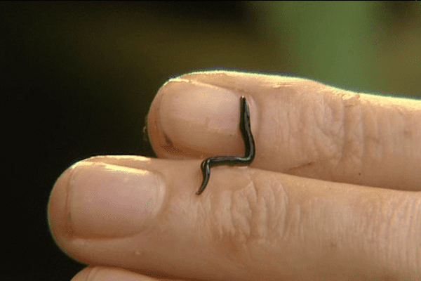 Le platydemus manokwari, ce ver tueur originaire de Nouvelle-Guinée mesure 5 cm de long et 5 mm de large.
