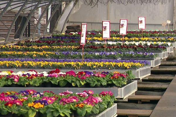 Selon la fédération nationale d'horticulture, la période de mars à juin représente 70% du chiffre d'affaires de la production française. Ici la production de la famille Simon dans les Vosges.