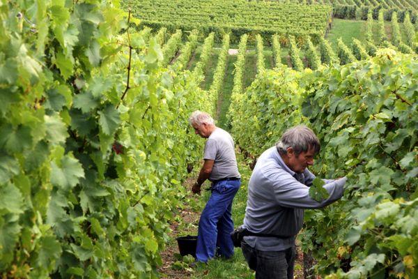 Alors que les vendanges vont bientôt se terminer en Alsace, trois organisations viticoles ont été sanctionnées par l'autorité de la concurrence le 17 septembre 2020.