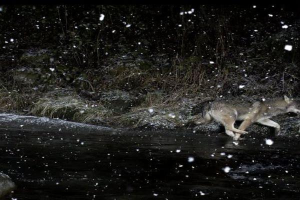 Un cliché de loup pris à la volée sous les flocons de neige