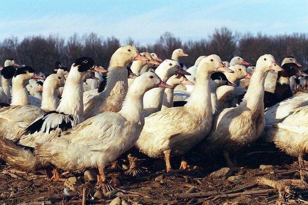 La claustration des volailles peut-elle être décrétée au nom de la lutte contre la grippe aviaire ?
