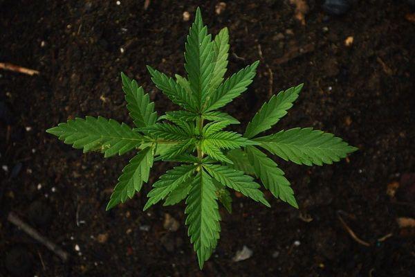 Un jeune plant de cannabis. Photo d'illustration.