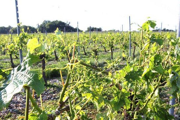 Le vignoble touché par la grêle.