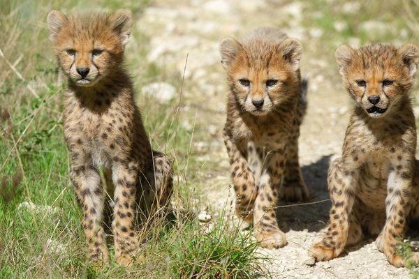 3 des 5 bébés guépards nés à l'été 2019 à la Réserve Africaine de Sigean (Aude)