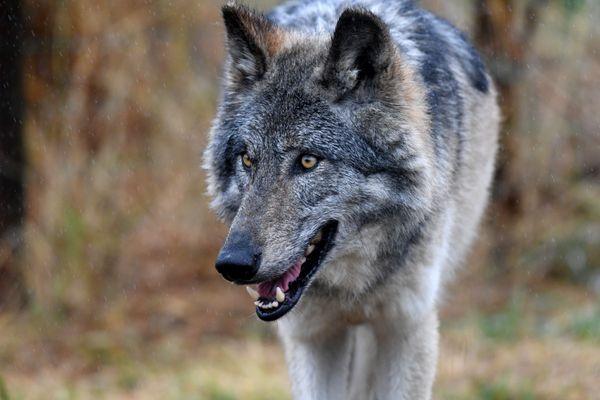 Pour 2021, comme pour 2020, le gouvernement a décidé de reconduire le plafond des tirs d'abattage à 19% de la population de loups estimée, ce qui représente une centaine d'animaux environ.
