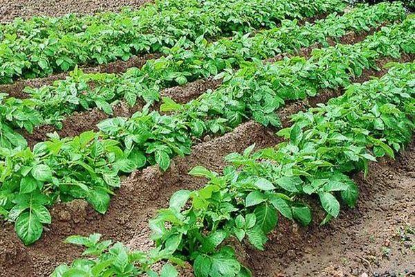 des plants de pomme de terre
