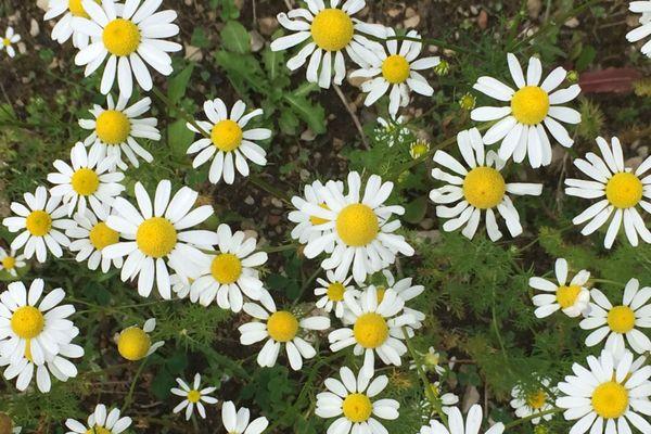 Quand Alexandra Henrissat ne trouve pas aux environs de chez elle, les plantes dont elle a besoin, elle se lance dans leur culture dans son jardin.