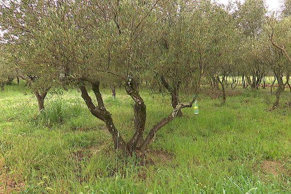 De nombreux oliviers gardent les traces du gel de 1956 et possèdent quatre branches - avril 2021