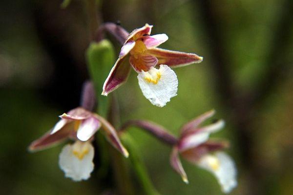 De la famille des orchidées, l'épipactis des marais fait partie des 235 espèces végétales menacées de disparition en Indre-et-Loire.
