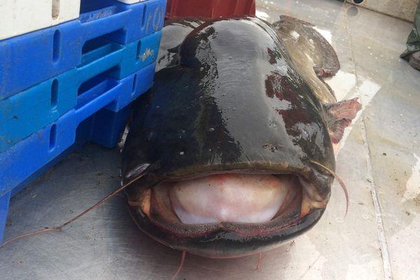 La silure un poisson de rivière qui commence à s'imposer dans les assiettes