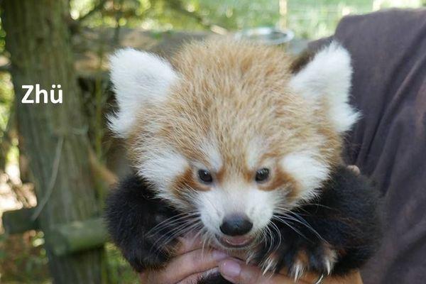 Zhü, joli panda roux né à Biotropica (Eure) le 16 juin 2018.