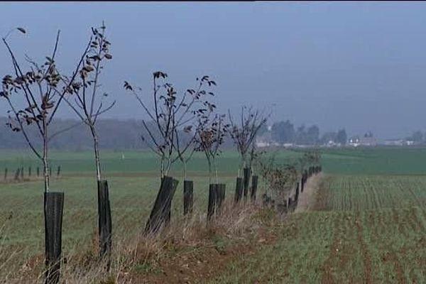 Rouvray-Saint-Denis (Eure-et-Loir) : la terre de Beauce riche en calcaire est très adaptée à la pratique agroforestière de Victor Pichot. Ici, une plantation de noyers.