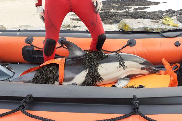 Le dauphin adulte a été transporté au large de La Turballe pour être relâché en mer