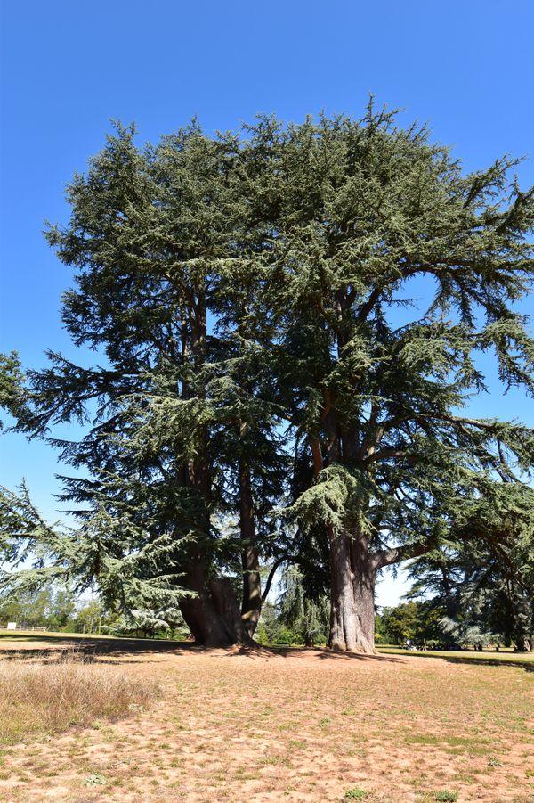 Dans le parc de Givray à Ligugé, ce Cèdre de l'Atlas, à gauche, est l'arbre qui présente la circonférence la plus importante de toute la Vienne, avec plus de 9,5 mètres.