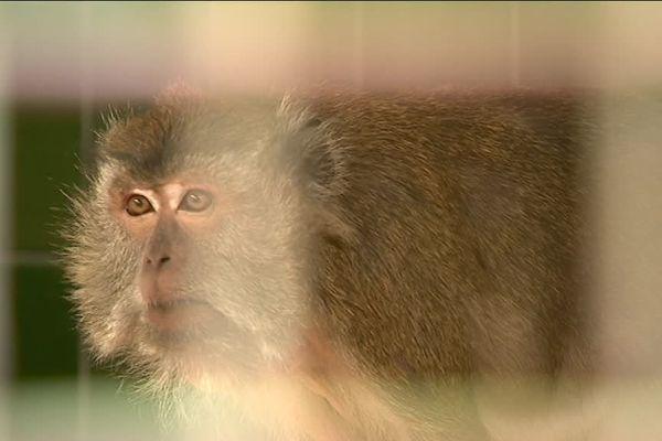 Neuf macaques sauvés de l'euthanasie