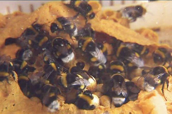 Excellents pollinisateurs pleins d'énergie, les bourdons sont des alliés précieux...