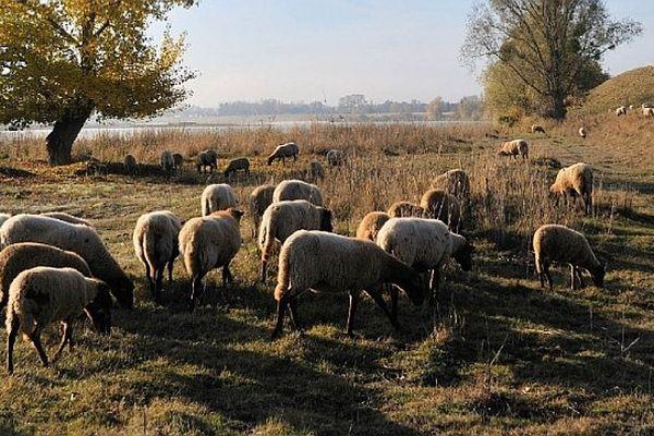 Un troupeau de brebis solognotes sur les bords de Loire.