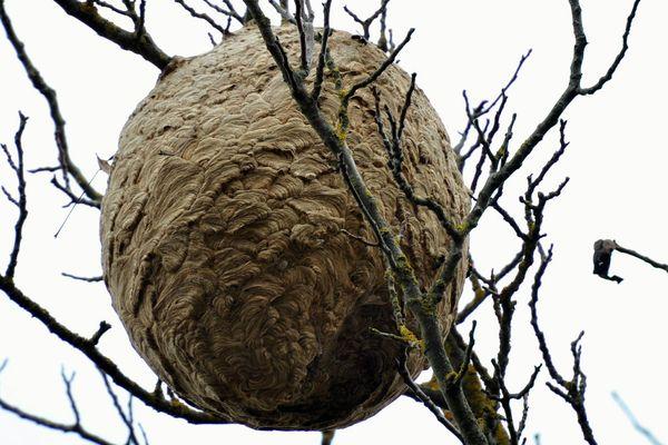 Un nid de frelons asiatiques perché dans un arbre. Le nid peut atteindre une hauteur de plus d'un mètre pour une largeur de quarante centimètres.