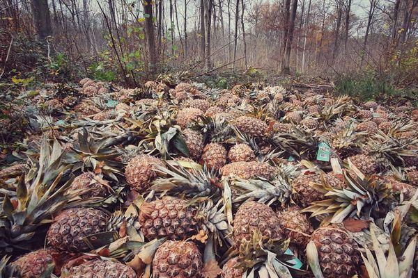 Des promeneurs ont découvert des centaines d'ananas abandonnés dans la forêt de Saint-Amand-les-Eaux.