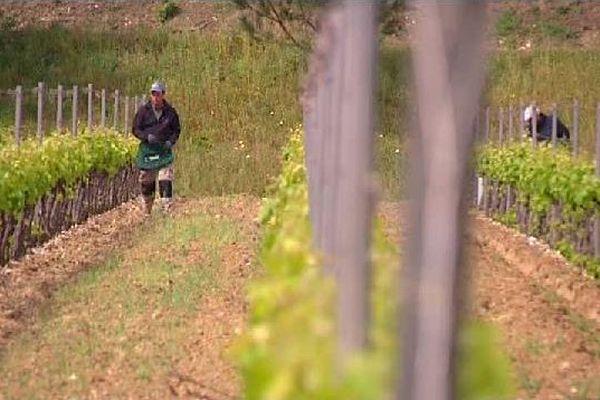 Des viticulteurs ont mis en place une méthode particulière celui de la confusion sexuelle.
