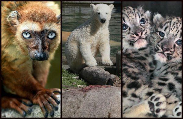 Les animaux emblématiques du zoo de Mulhouse dont le lémurien aux yeux turquoises