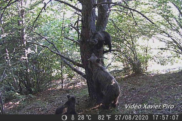 Les images d'une ourses et ses deux oursons dans le val d'Aran filmées le 28 août 2020 par la caméra de Xavier Piro.
