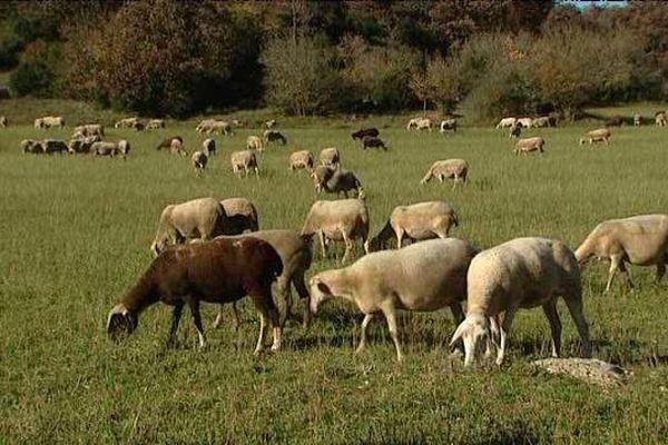 Les éleveurs évoquent plusieurs attaques de brebis ces dernières semaines.