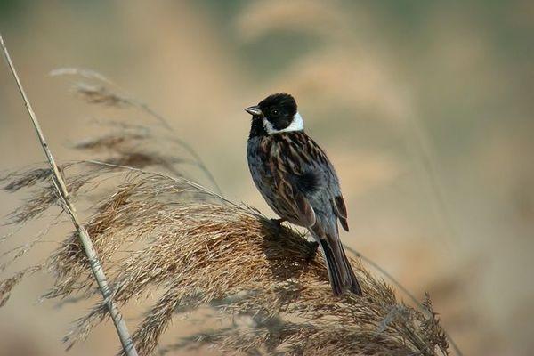 Le bruant des roseaux est un oiseau typique des marais.