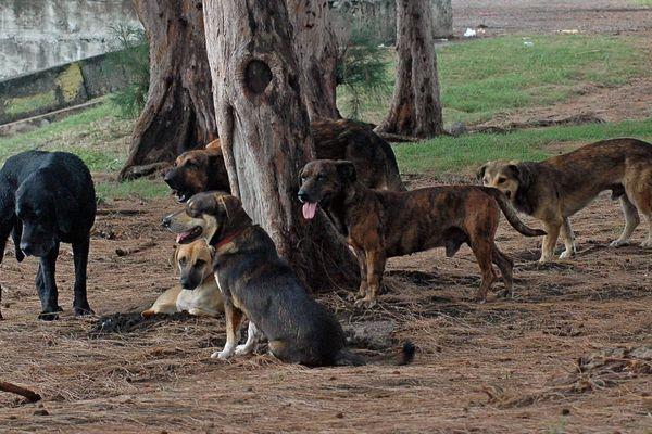 Archives. Sur l'île de la Réunion, plus de 42.000 chiens sont considérés comme errants.