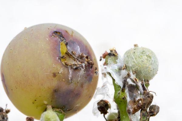 Une vigne attaquée par la maladie : le redoutable mildiou qui peut survenir lors de fortes pluies.