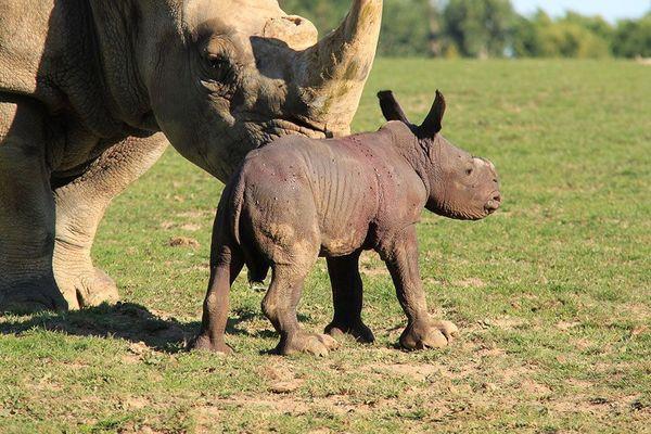 Le bébé rhinoceros grossit de deux kilos chaque jour...
