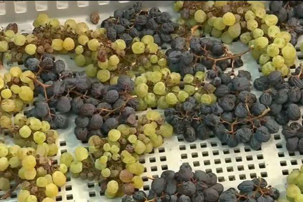 Les grappes noires et blanches avant pressée.
