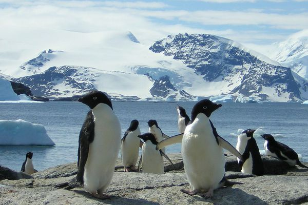 Antarctic: Signy Island - Adelie penguins by ¡WOUW!