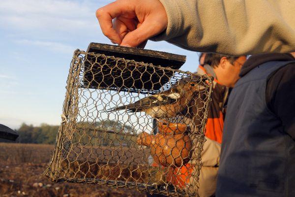 La chasse des alouettes à la matole, technique traditionnelle du Sud-Ouest, pourrait être de nouveau autorisée