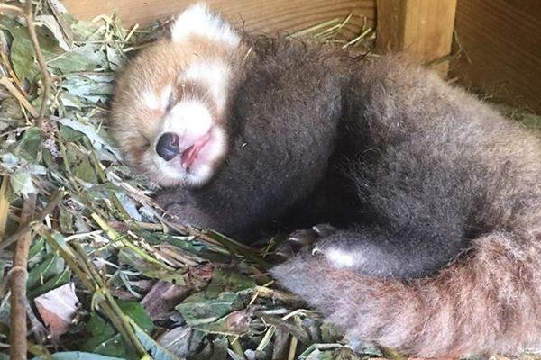 Bébé panda roux né à Biotropica