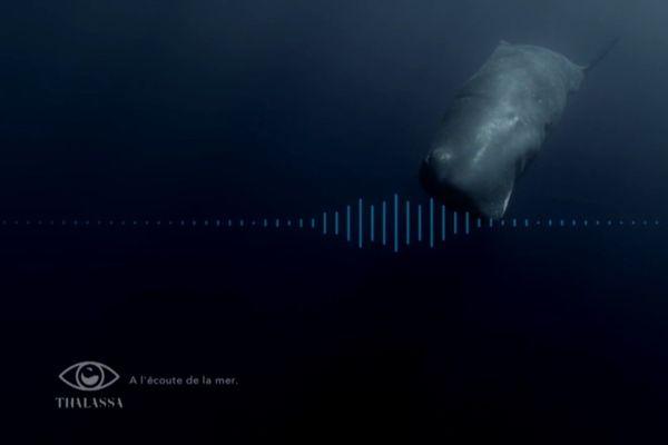 Les cachalots émettent des clics pour communiquer avec leurs congénères ou d'autres espèces. Dans l'obscurité des abysses, l'échange sonore est vital...