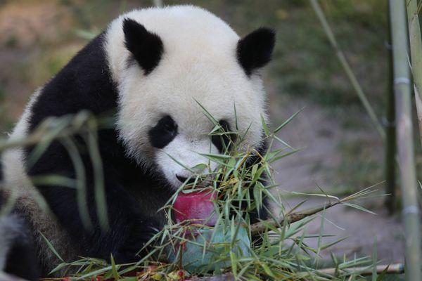 Anniversaire du panda Yuan Meng,  2 ans