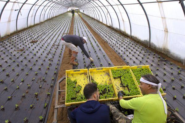Des agriculteurs Plantent des salades bio sous serre à Mauguio (Hérault)