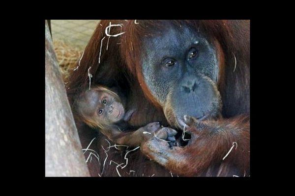Le bébé ourang-outan est né le 25 septembre. Il ne quitte pour l'instant jamais les bras de sa mère.