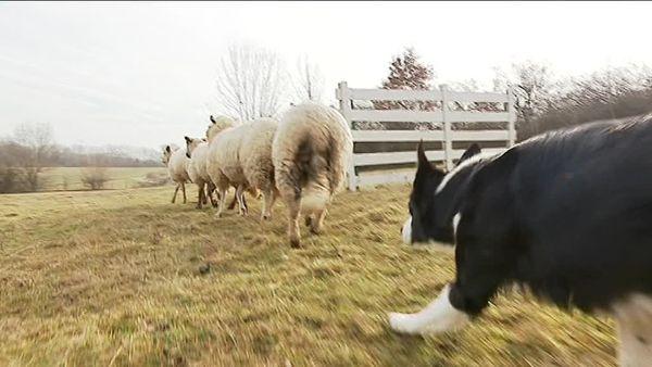 Avec le troupeau, le Border Collie retrouve un instinct de prédateur...