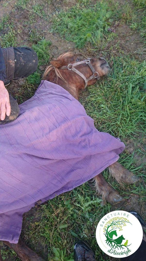 Un petit poney percuté par un véhicule et laissé agonisant sur la route