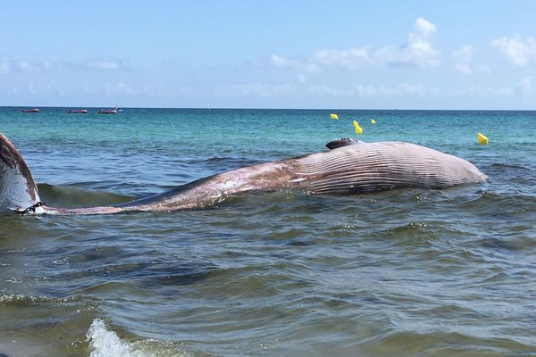 Un baleineau de plus de 10 mètres a été retrouvé mort ce matin sur la plage du Ster à Penmarc'h.